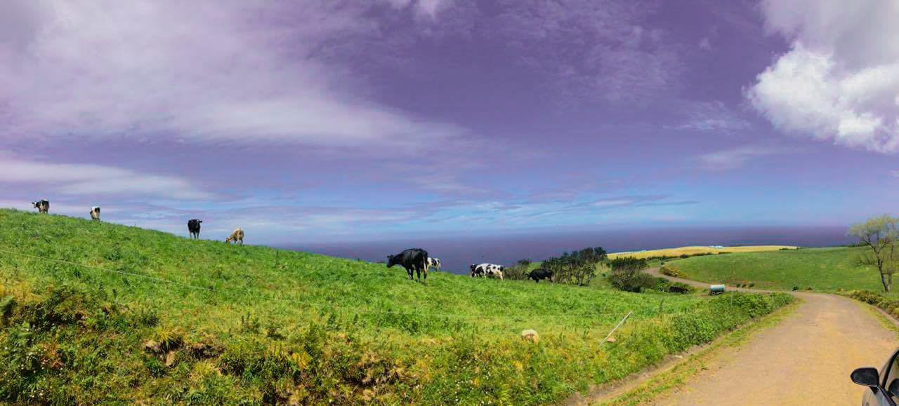 azory panorama krowy